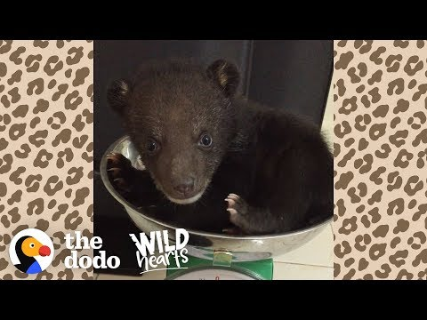 Tiny Bear Cub Siblings Learn How To Be Wild  | The Dodo Wild Hearts