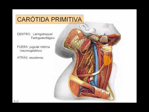 carotida exerna - YouTube