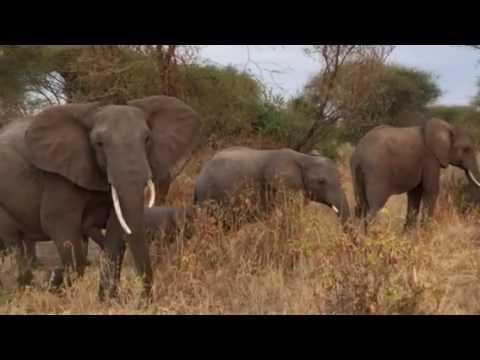 Elephant family Tanzania Little Chem Chem
