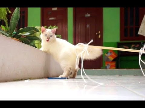 Balinese Cat Like A Pencil Toy To Play