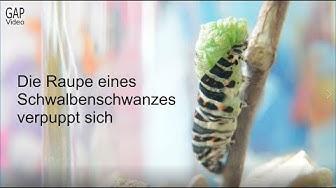 Die Raupe eines Schwalbenschwanz-Schmetterlings verpuppt sich