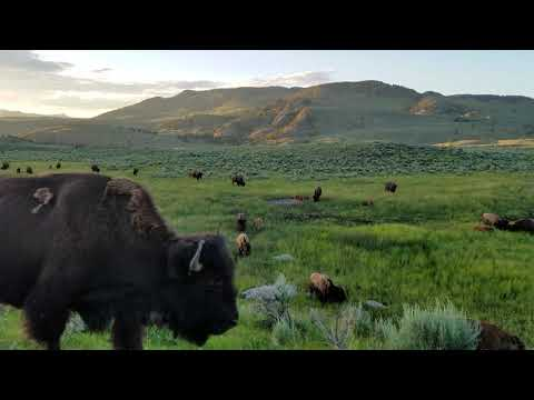 Bison in the Boulder area of Yellowstone