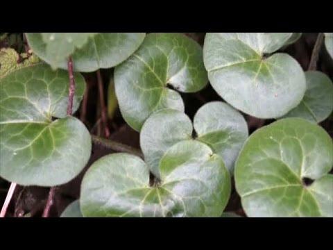 Копытень европейский (лат. Ásarum europaéum) — травянистое растение; вид рода копытень (asarum) семейства кирказоновые (aristolochiaceae). Имеет специфический острый запах, ядовит, цветёт в апреле — мае; семена созревают в июне. В россии широко распространён в лесной и лесостепной.
