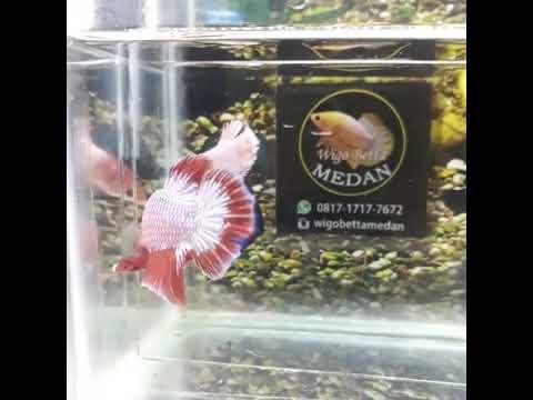Ikan Cupang Hias Red Dragon Muantep Gas Full - YouTube