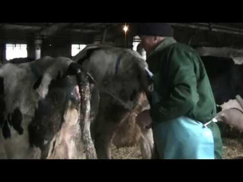 Варианты лечения и профилактики эндометритов  у коров
