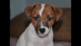 Мой маленький щенок Джек Рассел терьера. Щенок играет с ребенком. Собака из фильма Маска