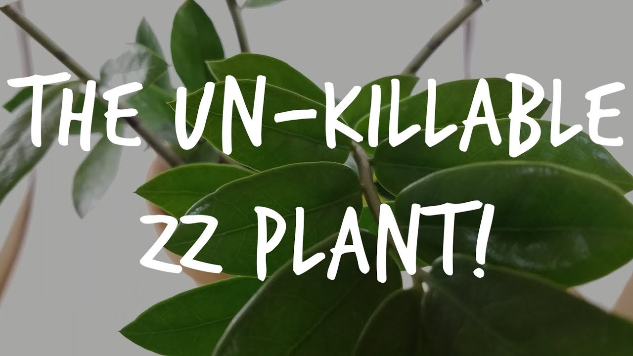 "The ""Unkillable"" ZZ Plant: Complete Zamioculcas Care Guide ... on Zz Plant Care  id=51607"