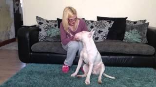 Sprocket The English Bull Terrier Stubborn Training