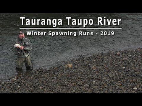 New Zealand Winter Spawning Runs - Tauranga Taupo River 2019