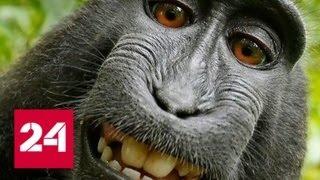 Животных лишили прав на селфи - Россия 24