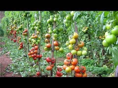 Curso Produção de Tomate para Indústria - Biologia do Tomateiro