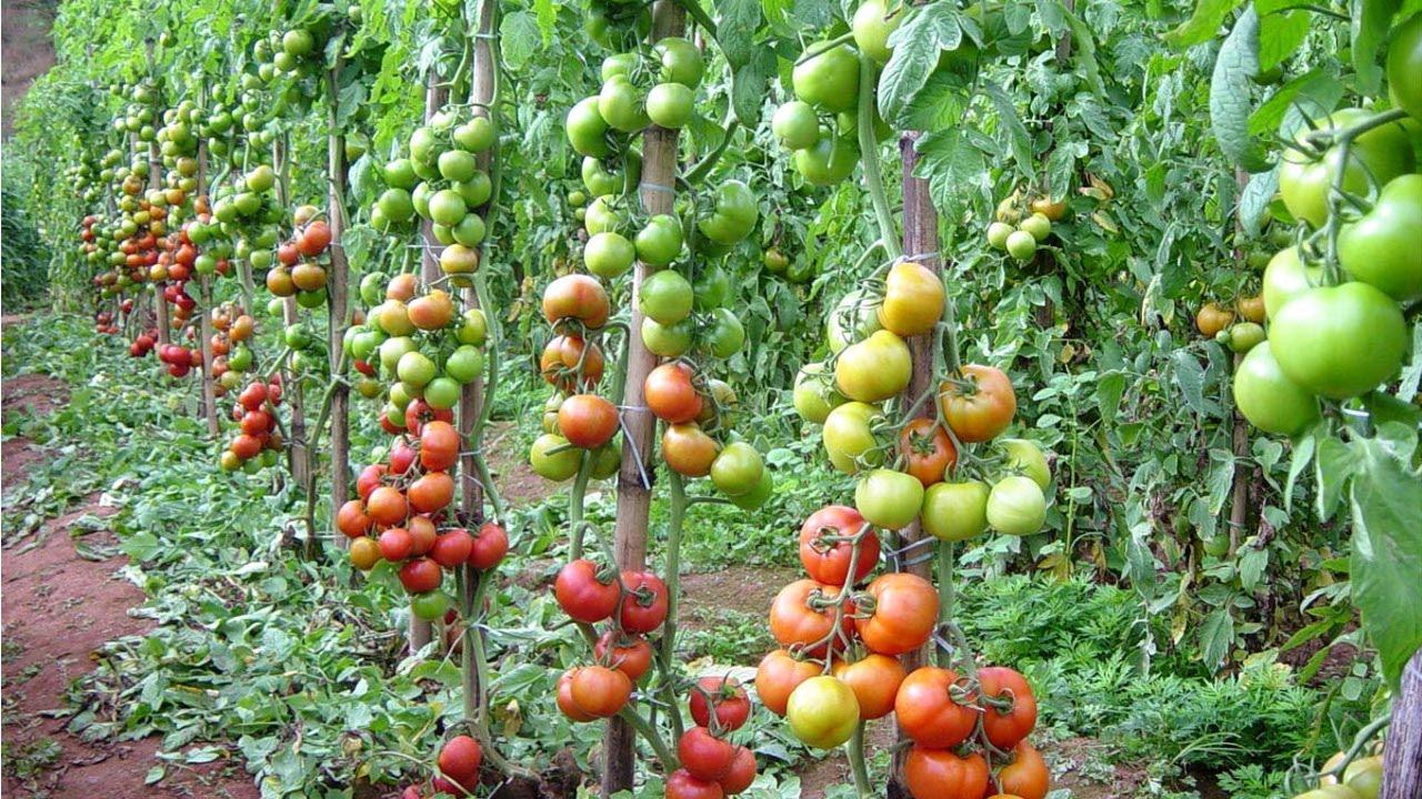 curso produ o de tomate para ind stria biologia do tomateiro cursos cpt youtube. Black Bedroom Furniture Sets. Home Design Ideas