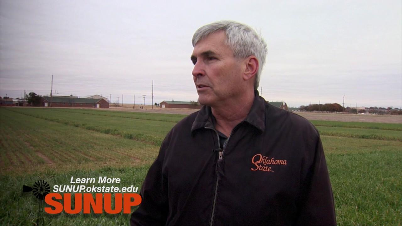 Hessian Flies in Oklahoma Wheat (12/10/16)
