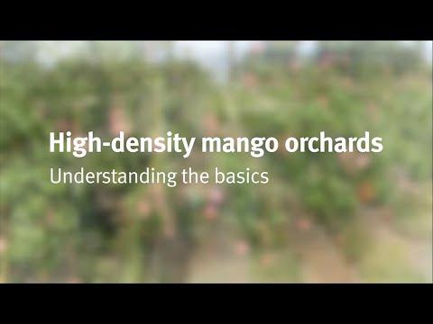 High-density mango intensification: the basics