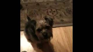 Scout: The Smartest Border Terrier