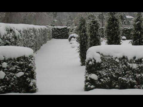 сосна фото зима
