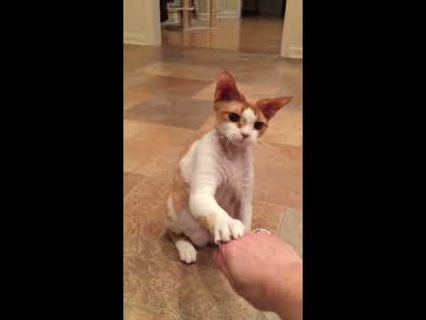 Charlie the 8 month old Devon Rex loves   to fetch, sit and touch my hand!