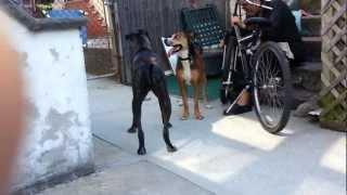 Koby American Bulldog Labrador Mix