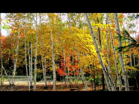 Indigo Harp - Birch Leaves in the Fall