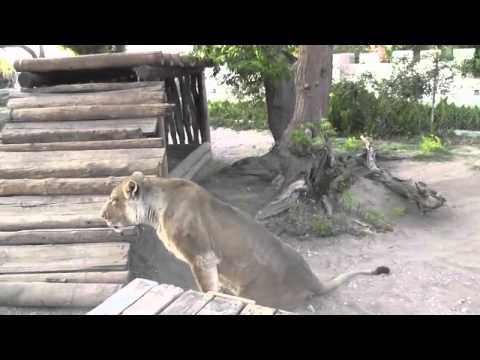 elsa the lion that walked again part 1