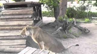 elsa the lion that walked again part 1