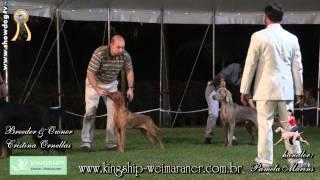 Show Dog Weimaraner - Kingship Weimar Dracco   Fecerj   Junho 2012 Hd