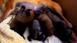 Pug X Pomeranian Puppies Feeding. 2 Weeks Old.