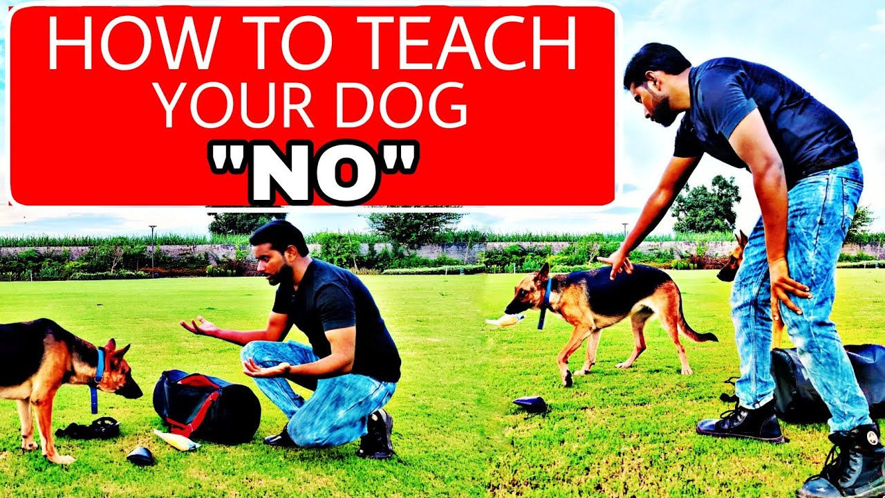 """German Shepherd Training Day 7 : How to train your dog """"NO"""" 