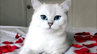 """Новая интернет-звезда кот с """"идеальными"""" голубыми глазами"""