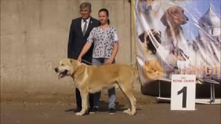 СРЕДНЕАЗИАТСКАЯ ОВЧАРКА видео с выставки собак