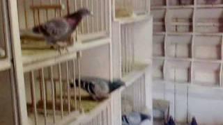 porumbei-Golebie-Pigeons MASTER ZYGMUNT SKOWRONEK,POLAND,ZABRZE--