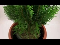 How to grow Thuja / Morpankhi plant in home & benefits of Tuja plant