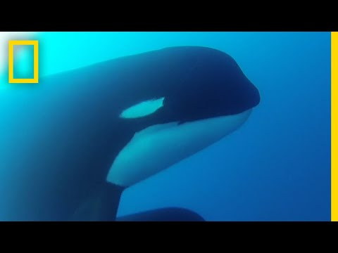 Mysterious Orcas Confirmed Alive in New Video   National Geographic