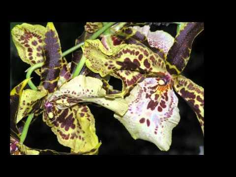 Вальс Орхидея   Vasili Andreyev  Waltz   Orchid