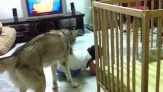 Siberian Husky Tickles The Small Kid