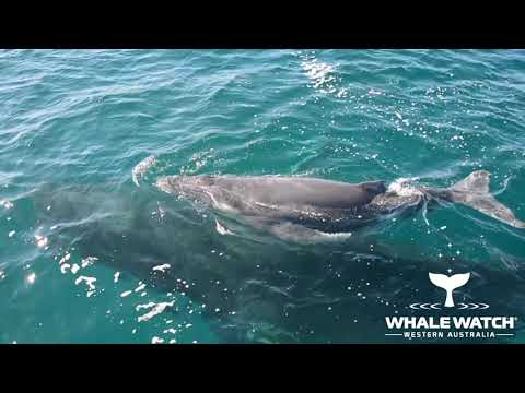 Whale Watch WA & Dolphins defend Humpback Mother & Calf