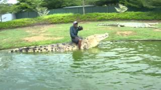 Крокодила на обед угостили курицей