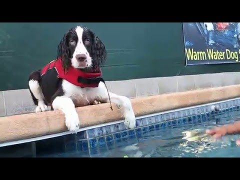 5 month old English Springer Spaniel Puppy Gumbeaux's first swim in swimming pool