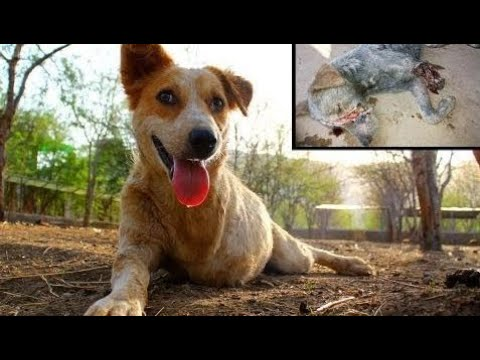 Tony healed & happy! (Street dog in India rescued almost dead.) - Animals Rescued  Ep 126