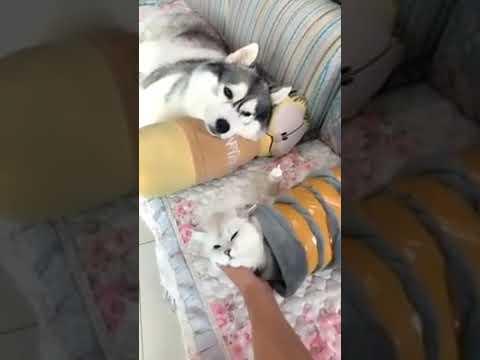 Dog Series: How to teach your Husky
