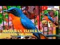 Suara Burung Tledekan Gunung Gacor Dor Cocok Buat Masteran  Mp3 - Mp4 Download