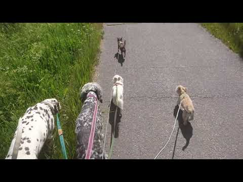 Walking with 5 dogs