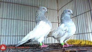 Hydraulic chuital khaki/silver spring  Pigeons in bd. rahman pigeons loft