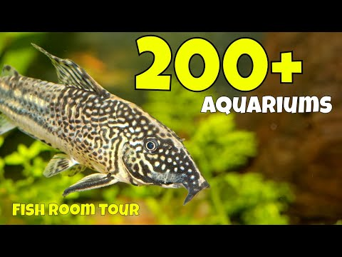 The Largest Corydoras Collection In The World In This Fish Room