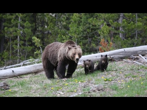 Yellowstone Wild grizzly Bear Family! With two cute bear cubs!