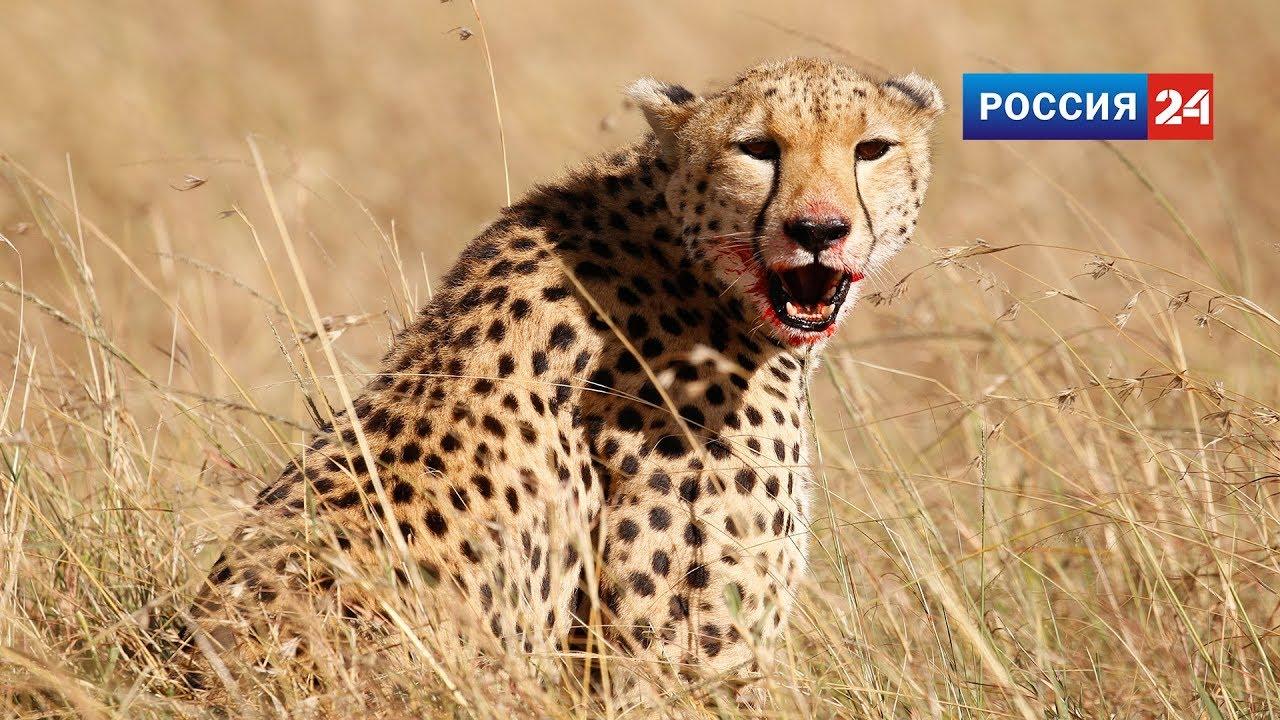 Кения. Дикие животные в Масай и Мара. Репортаж для Россия 24