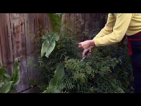 How to Prune a Jasmine Plant : Gardening Advice