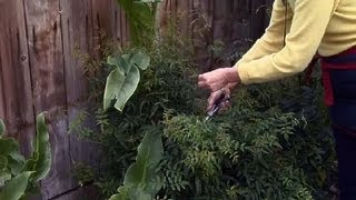 How to Prune a Jasmine Plant : Gardening Advice