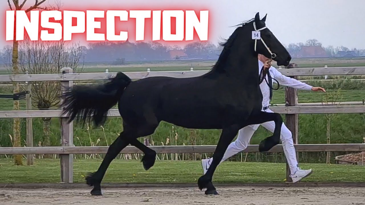 Hester and Eefje to the inspection | Eefje news | Drive them home | Friesian Horses.