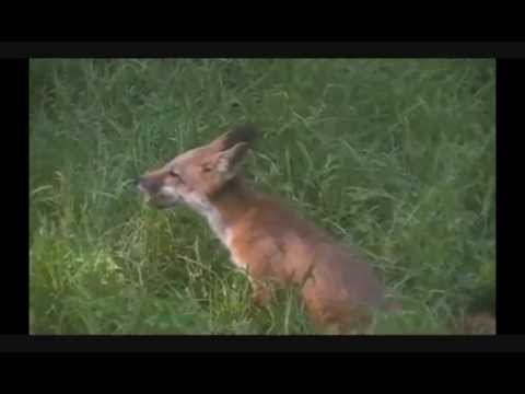 RED FOX in The Wild - Newborn Kits to Adults